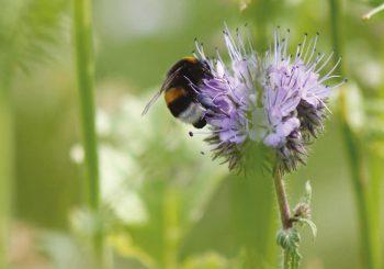 Bont Bijen Mengsel
