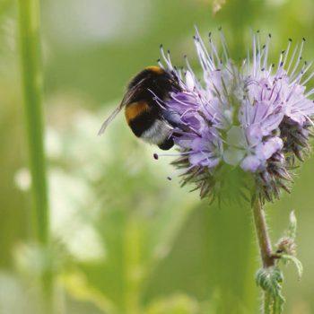 Biotoopmengsels Bond Bijen Mengel - Movo Zaden